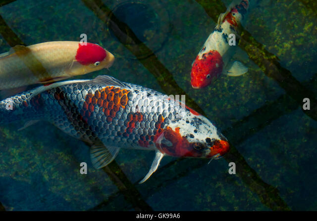 Ornamental fish stock photos ornamental fish stock for Ornamental fish garden ponds