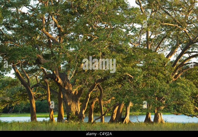 Kumbuk Trees (Terminalia arjuna) Wilpattu National Park, Sri Lanka - Stock Image