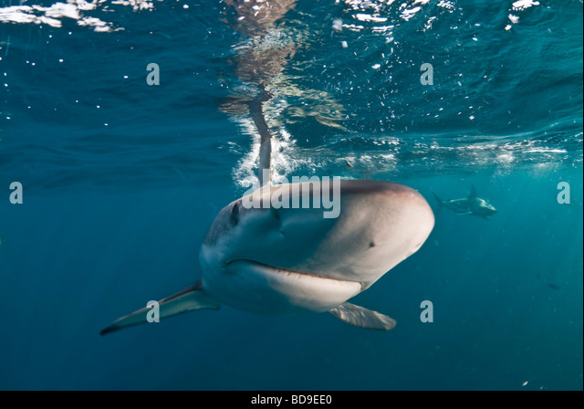 Black tip shark (Carcharhinus limbatus), Aliwal Shoal, South Africa - Stock Image