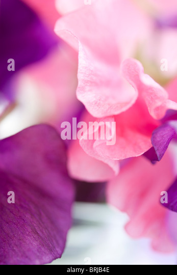 close up of pink and purple sweet peas - Stock Image