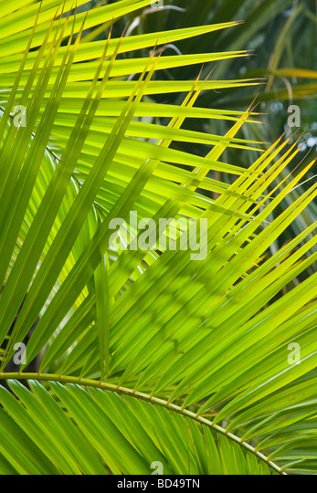 Palm frond closeup ideal for a jungle theme or background - Stock Image