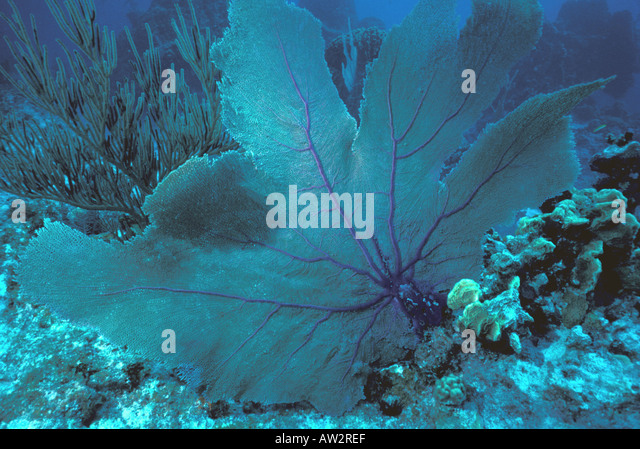 giant sea fan underwater on coral reef - Stock Image