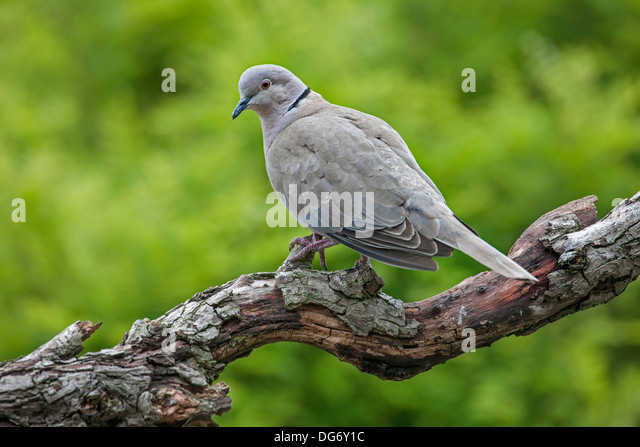 Eurasian Collared Dove (Streptopelia decaocto) perched on branch in tree - Stock Image