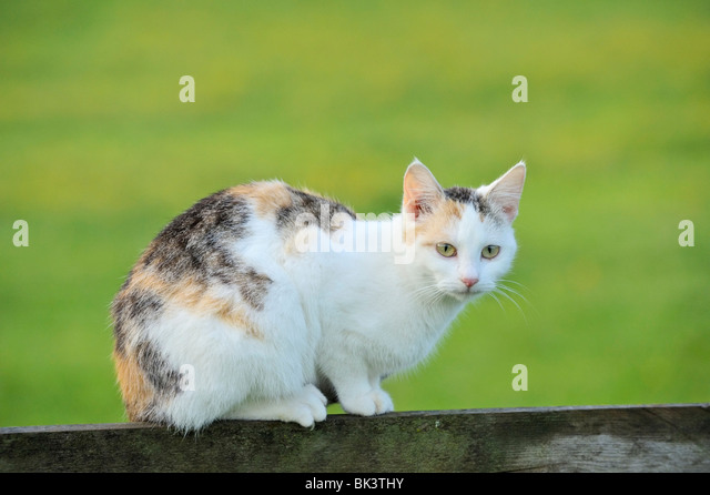 Domestic cat sitting on a fence in the morning - Stock Image