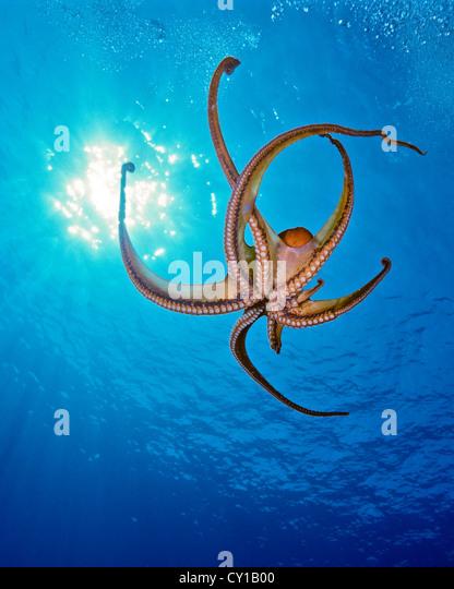 Day Octopus, Octopus cyanea, Big Island, Hawaii, USA - Stock-Bilder