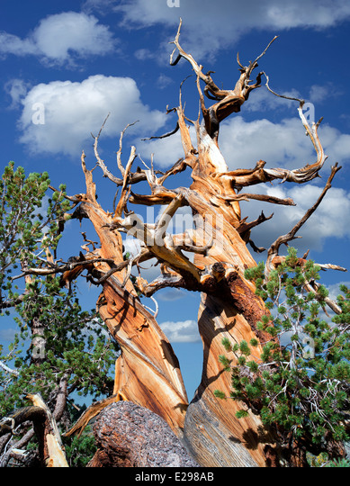 Bristlecone Pine tree. Ancient Bristlecone Pine Forest, Inyo county, California - Stock-Bilder