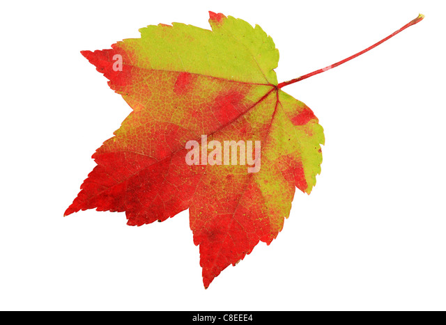 red and green maple leaf isolated on white background - Stock Image