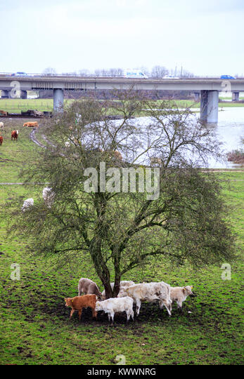 Cattle with muddy feet on a pasture in the floodplains of the Ruhr river, Styrumer Ruhrbogen, Mülheim an der - Stock Image