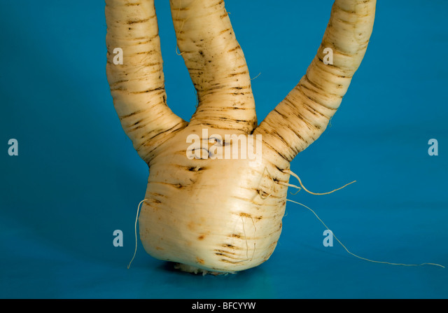 A common garden parsnip, a root and tuber vegatable - Stock Image