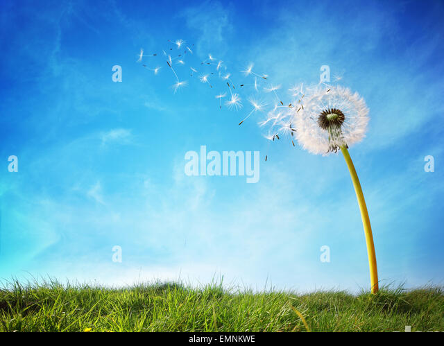 Dandelion clock dispersing seed - Stock Image