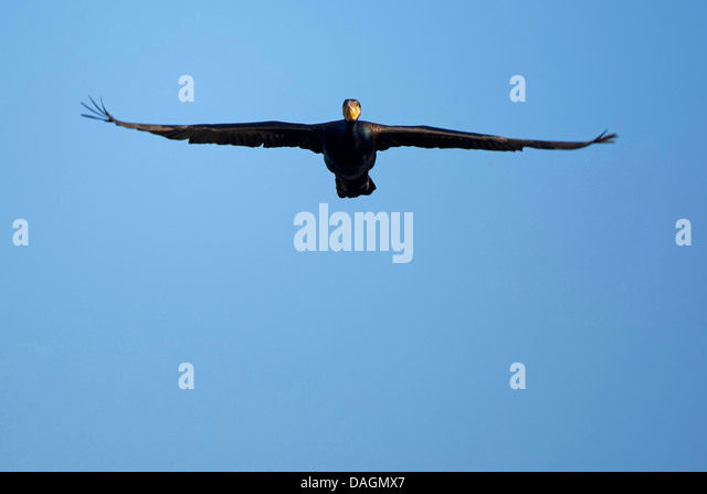 great cormorant (Phalacrocorax carbo), soaring, Belgium - Stock Image