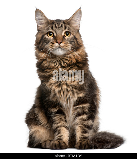 Maine Coon cat, 6 months old, sitting in front of white background - Stock Image