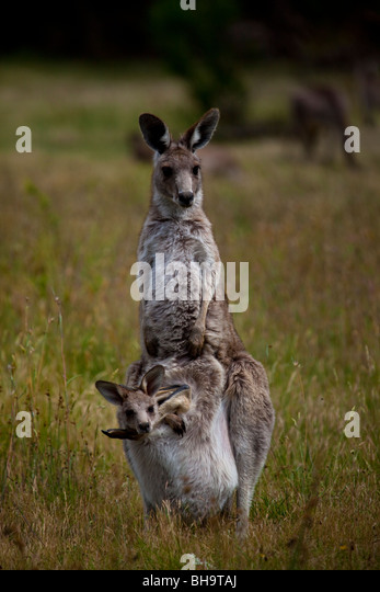 Eastern Grey Kangaroo with Joey in its pouch, at Tom Groggins, Mount Kosciuszko National Park - Stock Image