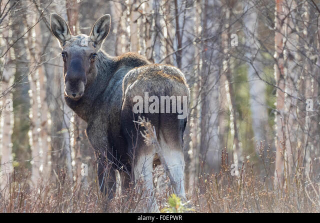 Moose, Alces alces, standing among birches with no leaves, llooking in to camera, gällivare, Swedish Lapland, - Stock Image