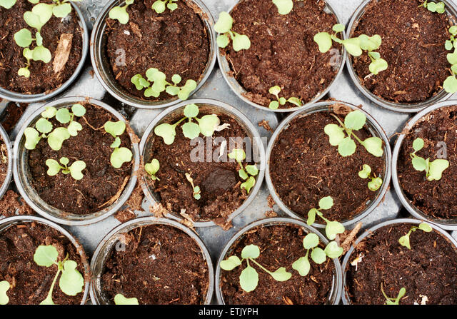 Brussels sprout seedlings in small pots. - Stock Image