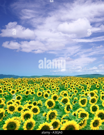 FR - PROVENCE: Field of Sunflowers - Stock Image
