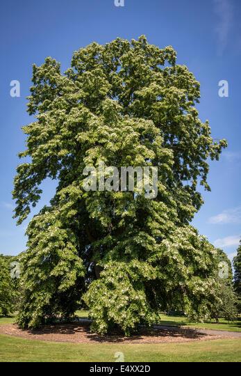 Weeping silver lime tree, Tilia tomentosa 'Petiolaris', Kew Royal Botanic Gardens, London, UK - Stock Image
