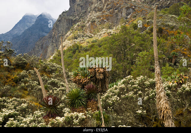Afro-alpine vegetation, Rwenzori Mountains, Uganda, Africa - Stock Image