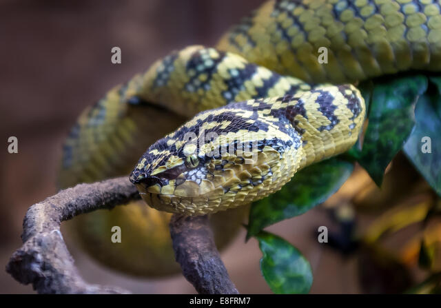 Waglers Pit Viper - Stock Image