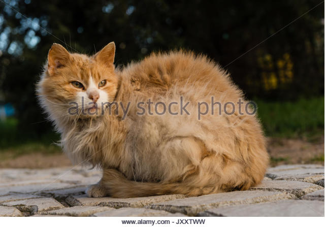 Close-up of a sitting sly red molting cat. - Stock Image