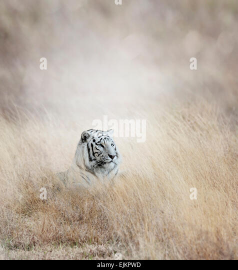 White Tiger In The Grass - Stock Image