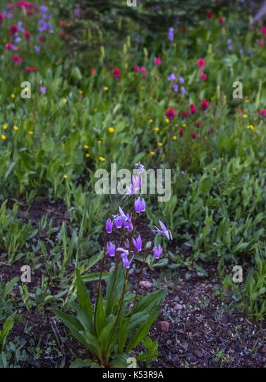 Purple Alpine Shooting Stars in meadow in summer - Stock Image