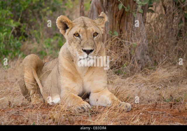Kenya, Tsavo East park, Lioness lying in grass - Stock Image