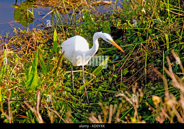 Bird great egret stalking anhinga yellow web feet closeup detail florida everglades national park ecotourism ecotravel - Stock Image