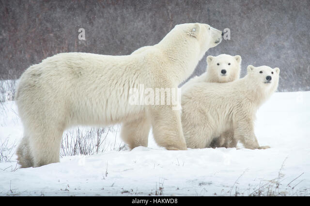 Mother Polar Bear with her twins - Stock Image