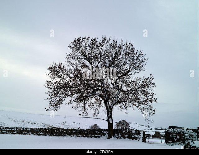Snow covering the ground by a tree and traditional drystone wall in a remote corner of the Yorkshire Dales in Winter. - Stock Image