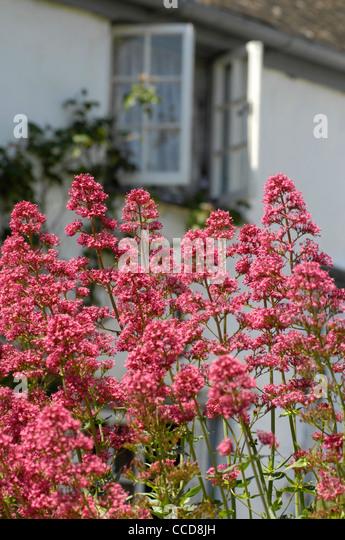 Red valerian flowers in cottage garden Devon, UK - Stock Image