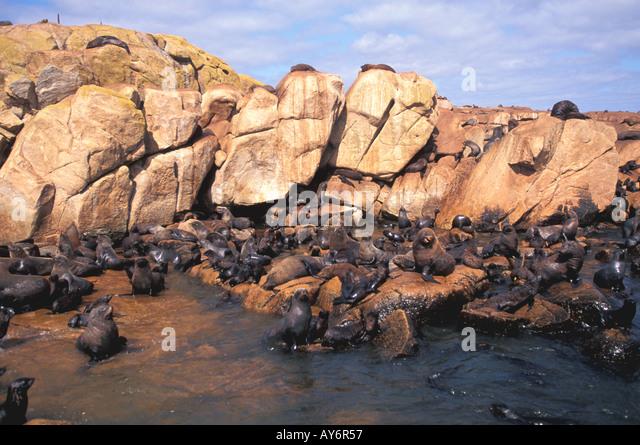 Uruguay Isla de Lobos sea lion colony - Stock Image