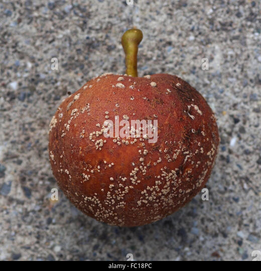 Decayed Apple - Stock Image