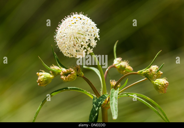 Trachymene composita, Parsnip Laceflower at Cranbourne Royal Botanical Gardens, Victoria, Australia - Stock Image