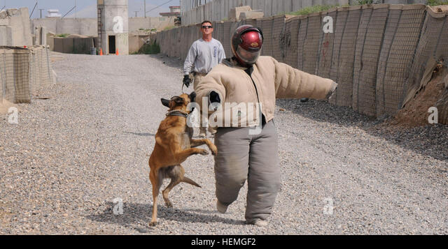 An American K-9 Detection Services (AMK9) working dog bites a U.S. Soldier's bite suit during attack training - Stock Image
