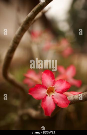 an orchid, Luang Prabang, Laos - Stock Image