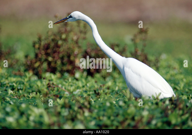 A Great Egret searches for food in a central Florida pond in February 2003 COPYRIGHT DUANE BURLESON - Stock Image