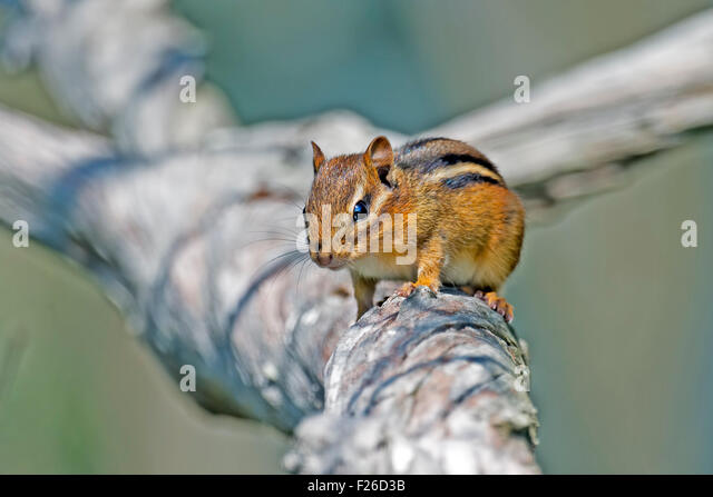 Chipmunk on a Tree Branch - Stock Image
