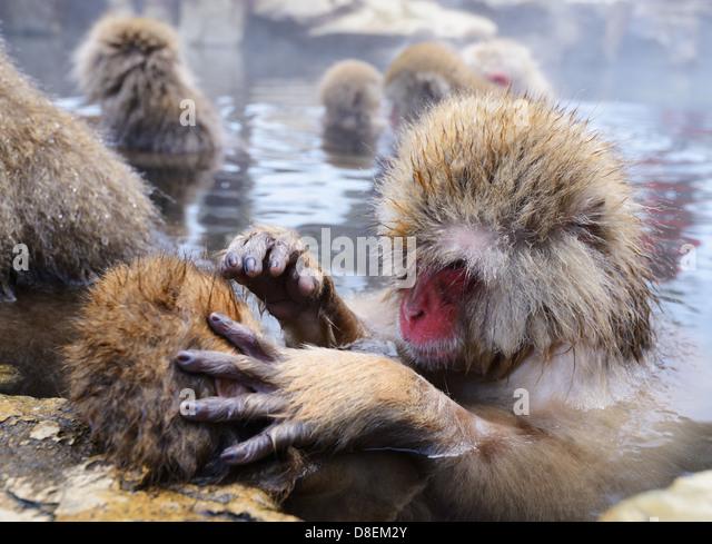 Japanese Snow Monkeys (macaques) in Nagano, Japan. - Stock Image