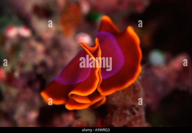 Flatworm - Stock Image