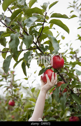 Maryland USA An apple tree with red round fruits for picking - Stock Image
