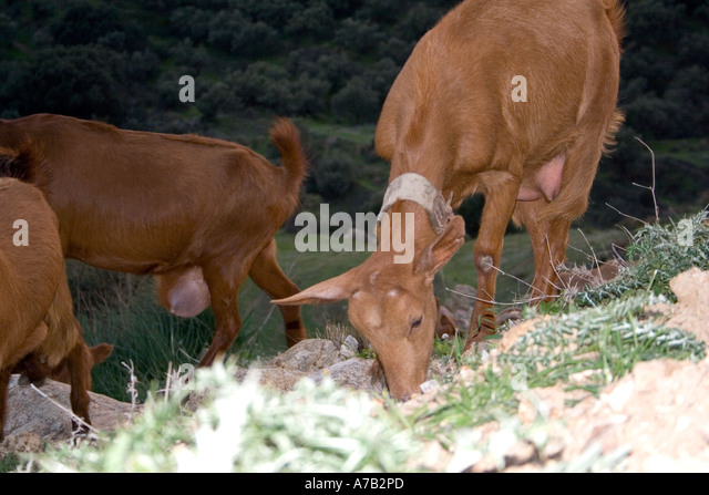 Goats in the late evening sunlight, Andalucia, Spain, - Stock Image