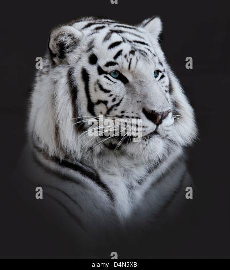 White Tiger Portrait On Dark Background - Stock Image
