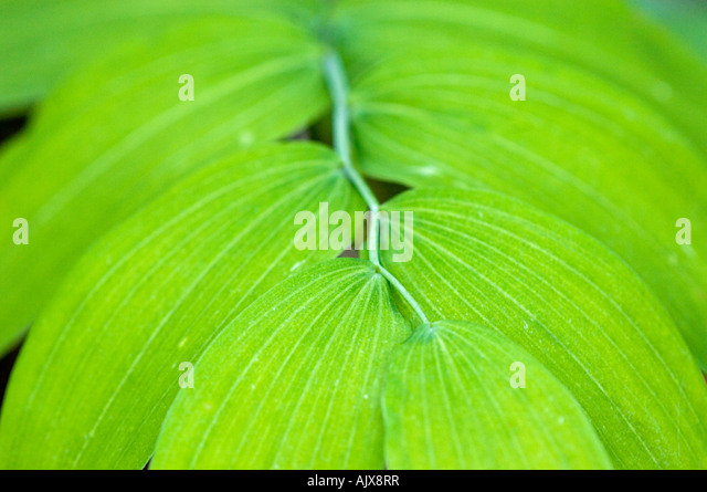 False Solomons Seal Maianthemum racemosa Leaves Great Smoky Mountains National Park Tennessee USA - Stock Image