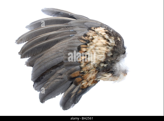 Bird wing from a chicken - Stock Image