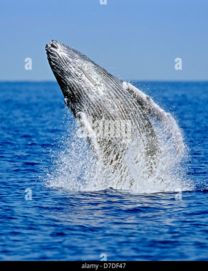 Humpback Whale breaching, Megaptera novaeangliae, Hawaii, USA - Stock Image
