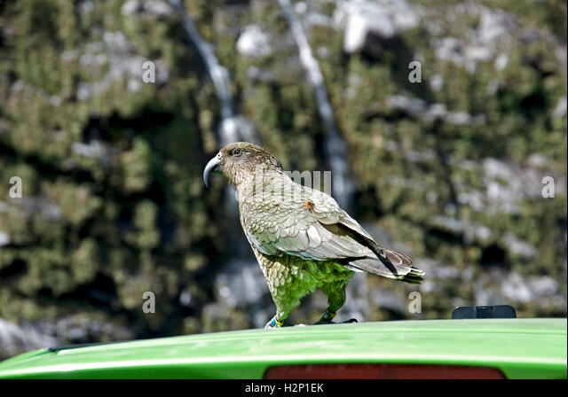 A kea bird stands on a tourist's car at Arthur's Pass, near Milford Sound in New Zealand. - Stock Image