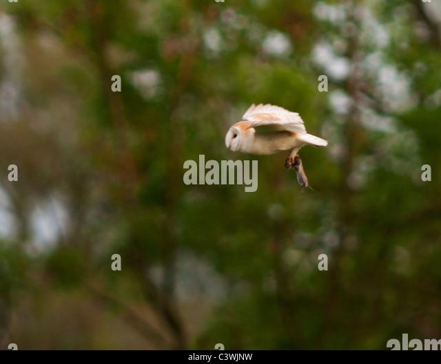 Barn Owl (Tyto Alba) with Vole, Warwickshire - Stock Image