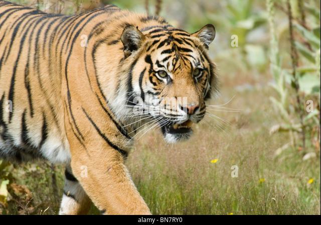 Male Sumatran Tiger Panthera tigris sumatrae - Stock Image