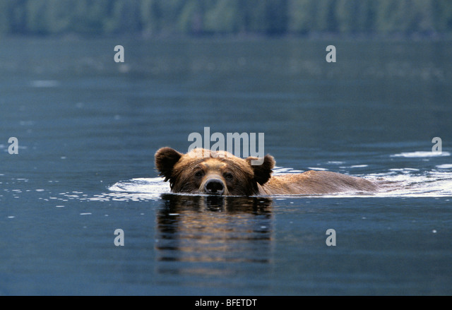 Adult male Grizzly bear (Ursus arctos horribilis) swimming across a saltwater inlet Khutzeymateen Grizzly Bear Sanctuary - Stock Image